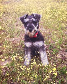 See this Instagram photo by @brutus_schnauzer • 101 likes