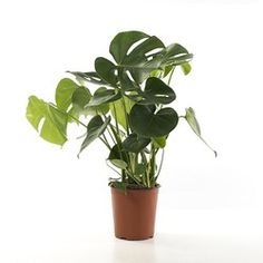 Green Lifestyle Store Kamerplant Gatenplant - Monstera