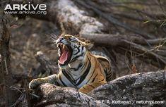 Bengal tiger yawning bearing teeth