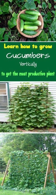 Cucumber Vertical Garden DIY via Urban Gardening Ideas - Learn how to grow cucumbers vertically to get the most productive plant Growing cucumbers vertically also save lot of space. #gardeningideasdiy #growingcucumbersvertically #howtourbangarden
