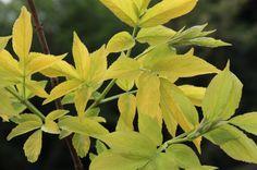 Le Sambucus Aurea est originaire d'Europe, plus connu sous le nom de sureau doré, c'est un arbrisseau à baies comestibles, on en fait des jus et de délicieuses confitures. Sa taille varie entre 2 et 4M. Très résistant au froid (-20°C), il est doté d'un feuillage décoratif du plus bel effet avec ses feuilles ovales dentelées de couleur jaune, idéal pour donner de la luminosité aux massifs.