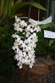 Las orquídeas de Iván Arroyo. My orchids in Basque Country: Exposición de orquídeas de Bordeaux (Francia). Septiembre de 2011