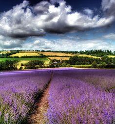 Kentish Lavender Fields at The Hop Shop at Castle Farm www.hopshop.co.uk