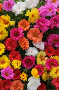 Happy Hour Portulaca from PanAmerican Seed