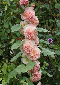 Alcea rosea 'Double Apricot' (Hollyhock) - Flowers are across and extremely double. foot tall stalks crowded with soft pink blushed with glowing apricot flowers. Outdoor Plants, Garden Plants, Outdoor Gardens, My Flower, Flower Power, Amazing Flowers, Beautiful Flowers, Hollyhocks Flowers, Delphiniums