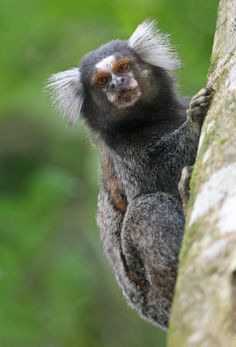 A marmoset, just look at those ears Baby Monkey Pet, Monkey Art, Cute Monkey, Animals In The Bible, Big Animals, Cute Baby Animals, Monkey Species, Animal Species, Marmoset Monkey
