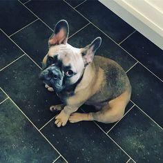 "Reposting @mywinstogram: ""Mornin' Mummy"" #mywinstogram #frenchbulldog #dogs #puppy #cute"