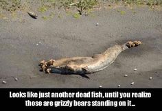 This picture looks just like another dead fish washed up on shore - until you realize that it's actually a whale, and those are grizzly bears standing on it. (Source) That's a different world. Animal Memes, Funny Animals, Cute Animals, Animal Funnies, Animal Pictures, Funny Pictures, Random Pictures, Dead Fish, Whales