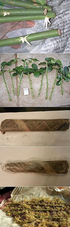Rooting the roses from branches Eco Garden, Garden Deco, Garden Trellis, Water Garden, Garden Plants, Growing Seeds, Growing Plants, Farm Gardens, Small Gardens