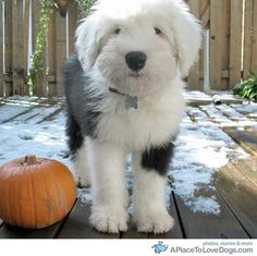 old english sheepdog puppy. Does cuter happen?