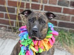 """KINU - A1065289 - - Brooklyn  Please Share:   TO BE DESTROYED 02/27/16 Human girls don't necessarily like to be called """"easy"""" but we're pretty sure it's a compliment for a pit bull terrier mix. Kinu may be """"very sweet"""" but that's not helping her find a new home in time to save her life from this place they call a shelter. Kinu is a good sized, curvaceous girl of almost 68-pounds. She's quite a lovely brindle lass of around 7-years old. So just as Kinu ente"""