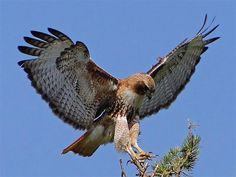 <b>Red-tailed Hawk</b> (Buteo jamaicensis) Female - landing on the top of a ...