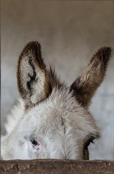 heartcorerose: Little donkey by Melinda Brown Gentle eyes Cute Donkey, Mini Donkey, Donkey Pics, Baby Donkey, Farm Animals, Animals And Pets, Cute Animals, Pinocchio, Beautiful Horses