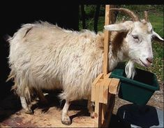 Mountain Hollow Farm Cashmere Goats Mountain Hollow Farm sells Cashmere goats for breeding stock, spinner's flocks & pets. Contact us to learn more about the fine animals we have for sale. Cashmere goats are dual purpose animals raised for their luxurious cashmere and delicious meat. These animals are great for beginner or experienced farmers. They …