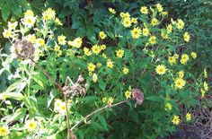 Helianthus and seed heads of Angelica gigas, Oct 2.