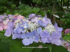Hydrangea macrophylla 'Let's Dance Starlight'