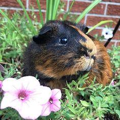 Follow us @guinea.pigs_photos