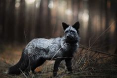 Majestic Silver Fox