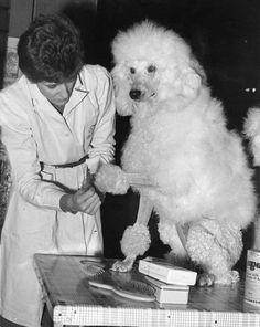 """En calidad de deporte de exhibición, en los juegos olímpicos de París de 1900 hubo """"peluquería de poodles"""". Los """"atletas"""" debían acicalar tantos poodles como pudieran en un lapso de dos horas."""