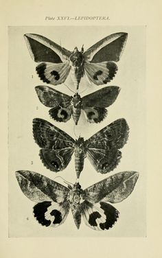 australian lepidoptera - Sydney,W. Brooks (1907)