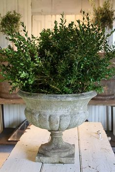 boxwood in cement urns