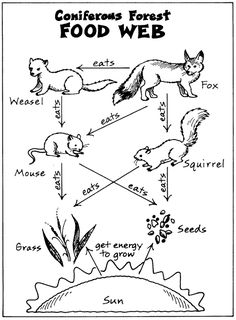 Food Webs-coniferous biome