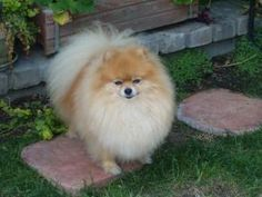 Cooper is an adoptable Pomeranian Dog in Monrovia, CA. Cooper is a retired AKC champion. He is a very happy boy and gets along with other dogs and cats. He is a very proud boy and will show you on you...