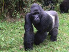 Silverback+Gorilla