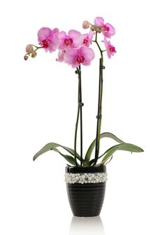 Keep your orchid classy with this elegant black pearl pot! Pin to win free #JustAddIceOrchids for a year. Enter here: www.facebook.com/justaddiceorchids
