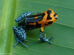 """Varadero morph: This morph appears to be a mimic of the """"orange-and-blue"""" fantastica morph."""