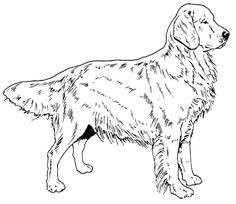 golden retriever dog coloring page from dogs category select from 20946 printable crafts of cartoons