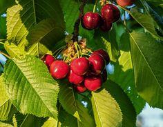 Cherry, Ovoce, Sladký, Vitamíny, Červená, Léto, Zahrada