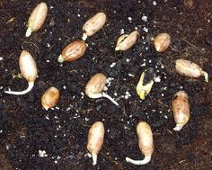 Grow your own peanuts. Blogger says: I found that raw peanuts in the shell, purchased at my local grocery store, would germinate a peanut plants. I've been growing several of these plants in containers. They germinated easily, with a better than 50% germination rate, which is pretty good considering they are not sold for germination & planting. This type of source for peanut seeds is also inexpensive.