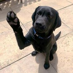 Black lab saying hello. Such a sweet baby.