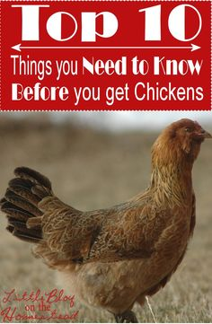 Happy New Year, Little Blog on the Homestead Readers! If one of your goals for 2015 is to get some backyard chickens, you're in luck. Today I'm sharing my Top 10 things you need to know BEFORE...: