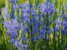bulbs flower camassia - Google Search