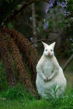 """""""Pete, the white kangaroo"""" by Mick Rukmini"""