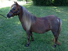 """Worth her weight in gold, """"Smug"""" is an independent and reliable mare. The best part though is that she is in foal to World Grand Champion single pleasure driving stallion Las Doradas Buckeroos Cajun Rhythm! Offered by Mini Horse Sales"""