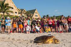 Wildlife Wednesdays: A Tour de Turtles First! Sea Turtle Returns to Disney's Vero Beach Resort to Nest Again in the Same Year