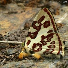 Anteos kupris, like a Clydesdale among butterflies