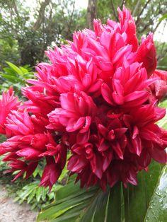 Cluster of Red Ginger