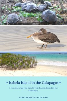 What to see and do on Isabela Island in the Galapagos Ecuador? Here is a list of things you must experience. babies flight hotel restaurant destinations ideas tips Darwin Evolution, Places To Travel, Travel Destinations, Galapagos Islands, Thing 1, South America Travel, Beautiful Islands, Travel Tips, Travel Guides