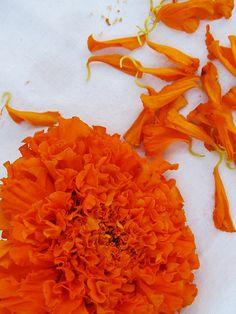 Orange and White - Marigold Flower Petals Orange Aesthetic, Rainbow Aesthetic, Marigold Flower, Flower Petals, Flower Oil, Coral Orange, Orange Color, Yellow, What's My Favorite Color