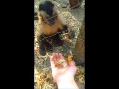 Amazing footage of primate demanded a human crush some leaves for him. :) International Primate Rescue - Chino Crushing Leaves