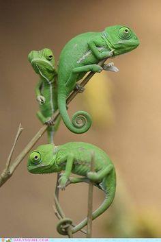 Babychameleons (Wilhelma) by Cameron_hf