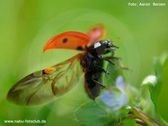 Von Punkt zu Punkt - Unsere Marienkäfer in Bildern - https://www.nabu.de/tiere-und-pflanzen/insekten-und-spinnen/kaefer/08193.html