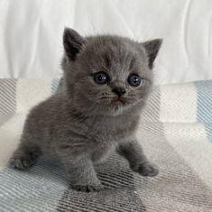 British Shorthair cat Gato Grande, Cattery, British Shorthair, Animals, Factory Farming, Gatos, Animales, Animaux, Animal