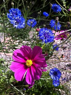 7/25/12: Cornflowers and cosmos grown from seed.