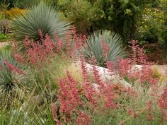 Sunset hyssop, Agastache rupestris  moderate to dry water use pink, Aug-frost, sun/part sun perennial