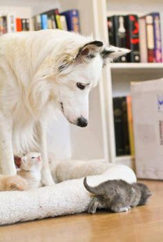 You're gonna protect us, right? Cute Creatures, Kittens Cutest, Cats And Kittens, Dog Friends, Animals And Pets, Baby Animals, Cute Animals, Animals Beautiful, Beautiful Cats